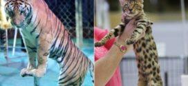 Hong Kong 'tiger' scare after feline sighting